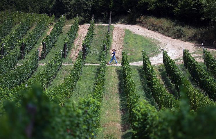 Виноградари и виноделы Севастополя объединились в ассоциацию
