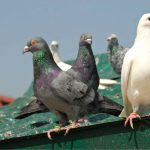 Уход за голубем в домашних условиях