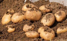 Как вырастить картофель: практические советы