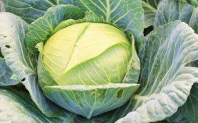 Возможные трудности выращивания белокочанной капусты