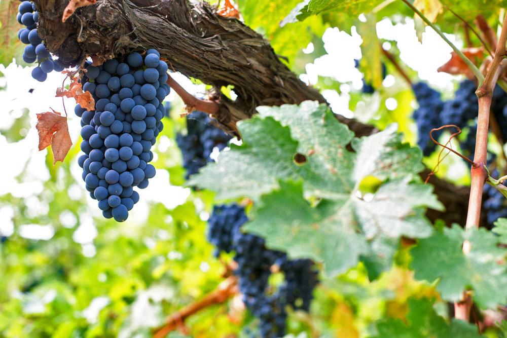 Комитет Госдумы поддержал законопроект о виноделии