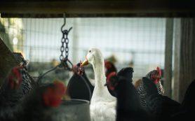 Производители птицы просят господдержки и боятся банкротства