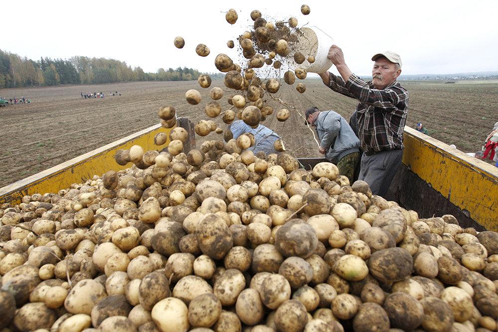 РФ обсуждает закупку картофеля у Беларуси для стабилизации цен