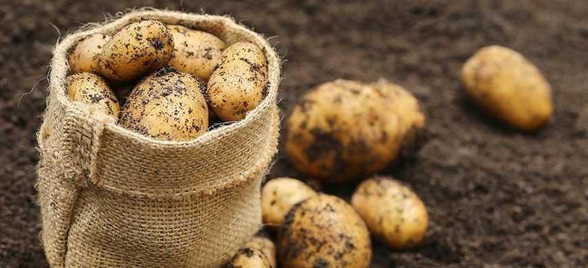 Секреты выращивания раннего картофеля на дачном участке